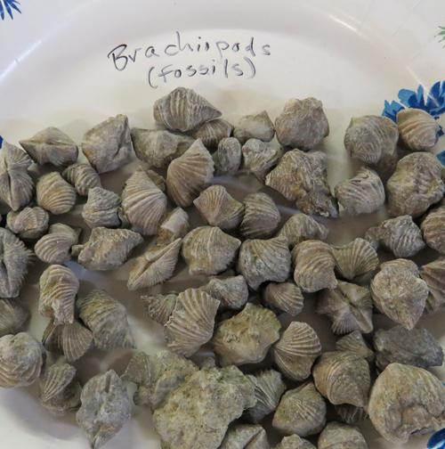 Brachiopods17-03-25_1151